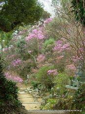 正太寺のミツバツツジ
