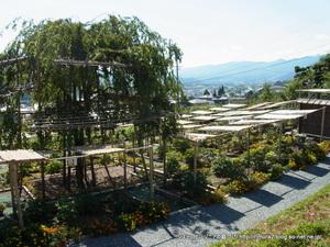 スイートガーデンのボタン園と枝垂れ桜