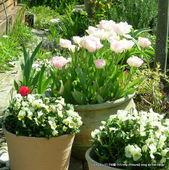 駐車場花壇のチューリップとビオラ