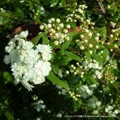 コデマリの花