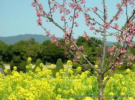 エントランスの菜花(はままつフラワーパーク)