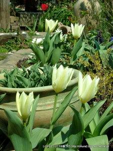 駐車場花壇のチューリップ